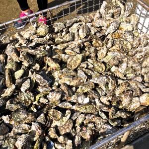 焼く前の大量の牡蠣
